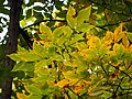 Shellbark Hickory - Flickr - treegrow.jpg
