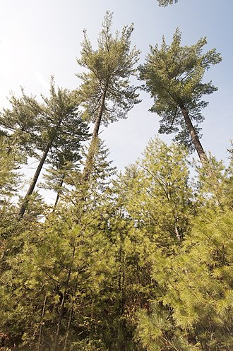 Shelterwood cutting - A partial overstory removal cutting in eastern white pine. Compare the amount of light reaching the seedlings to that in the establishment cut.