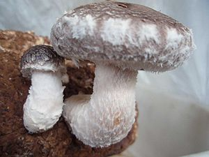Beta-glucan - The shiitake mushroom contains beta-glucans.