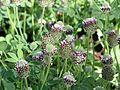Showy Indian clover trifolium amoenum.jpg