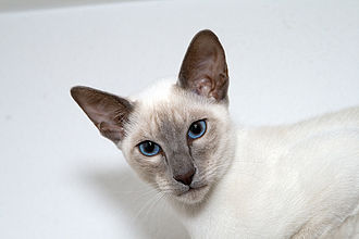 Siamese cat - Lilac point Siamese cat.