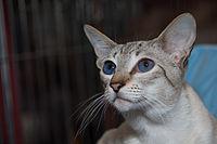 Siamese cat - Wikipedia