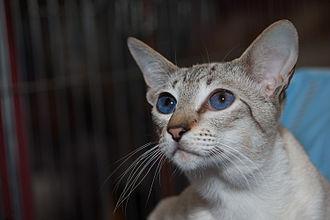 Siamese cat - Seal tabby silver Siamese.