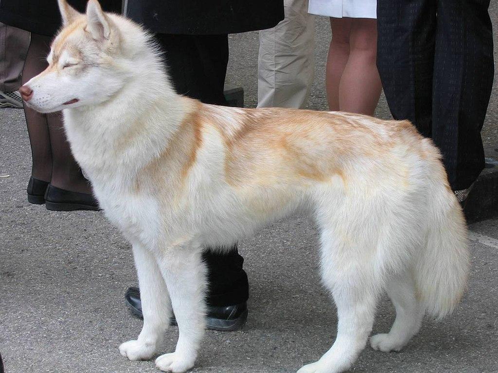 File siberian husky red wikipedia - Pictures of siberian huskies ...