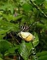 Signature Spider preying on Yellow Orange Tip Ixias pyrene DSCN1653 (4).jpg