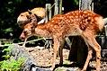 Sika deer in Nara 07.jpg