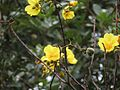Silk Cottontree - Flickr - treegrow.jpg