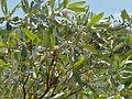 Silver Clusterleaf (Terminalia sericea) (11902512443).jpg