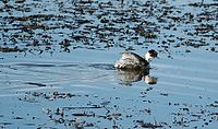 Silvery Grebe (Podiceps occipitalis) swimming