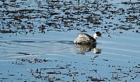 Silvery Grebe (Podiceps occipitalis) swimming.jpg