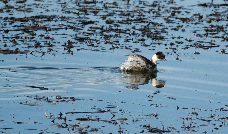 Ficheiro:Silvery Grebe (Podiceps occipitalis) swimming.jpg