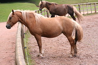 "Palomino - Two possible palomino mimics.  The horse in front is most likely a chestnut with flaxen The horse in the background looks like a liver chestnut with a flaxen mane and tail, but coloring could possibly be due to the silver dapple gene. Some color registries may accept both shades as ""palomino""."