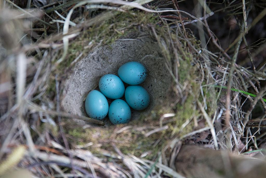 Drozd plavý - vajíčka