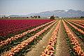 Skagit Valley Tulip Festival 2011.jpg