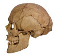 Skull of Henry VII (Holy Roman Empire).jpg