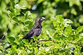Smooth-billed Ani - Garrapatero Común (Crotophaga ani) (24787669691).jpg