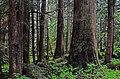 Snoqualmie trees III - panoramio.jpg