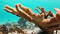 Snorkeling Bachelor Beach, Bonaire (12998198104).jpg