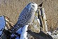 Snowy Owl - Bubo scandiacus, Boundary Bay, British Columbia - 6704955417.jpg
