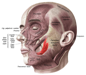 Risorius - Superficial muscles of the head and neck, showing the risorius in red.