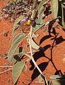 Solanum centrale flower.jpg
