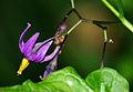 Solanum dulcamara - flower.jpg