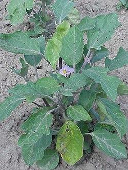 Solanum melongena0.jpg