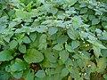 Solanum nigrum 001.JPG