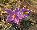Solanum virginianum . Solanaceae.jpg