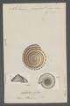Solarium perspectivum - - Print - Iconographia Zoologica - Special Collections University of Amsterdam - UBAINV0274 082 19 0004.tif