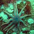 Solaster stimpsoni sun star (2521672571).jpg
