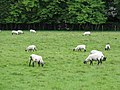 Some sheep at Bethersden - geograph.org.uk - 1343865.jpg