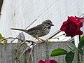 Song Sparrow Melospiza melodia (4607869876).jpg