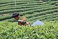 Songyang tea fields.jpg