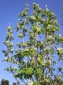 Sorbus domestica 2c.JPG