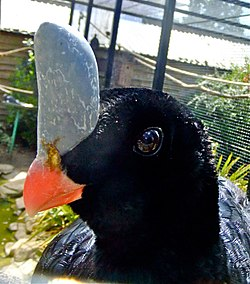 Southern Helmeted Curassow.jpg