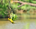 Southern Masked Weaver at Struben Dam Bird Sanctuary.JPG
