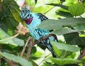 Spangled Cotinga 090.jpg
