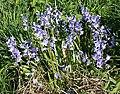 Spanish Bluebells (Hyacinthoides hispanica) - geograph.org.uk - 795201.jpg