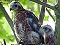 Sparrowhawk Nest 01.07.12 (7538502016).jpg