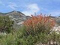Sphaeralcea ambigua 19.jpg