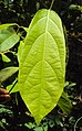 Sphenodesme paniculata 05.JPG