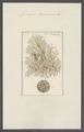 Spongia damicornis - - Print - Iconographia Zoologica - Special Collections University of Amsterdam - UBAINV0274 112 02 0051.tif