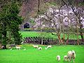 Spring Lambs - panoramio.jpg