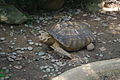 Spurred Tortoise in Hong-Kong Park.JPG