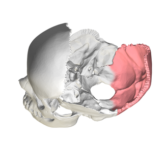 Squamous part of occipital bone - Human skull seen from above (parietal bones removed). Squamous part is shown in red.