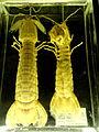 Squilla mantis - Finnish Museum of Natural History - DSC04679.JPG