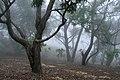 Sri Lanka trees, cloud forest.jpg