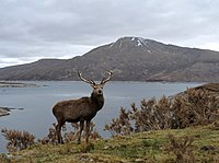 Stag at Loch Quoich - geograph.org.uk - 1805611.jpg