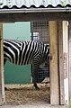Stallung mit Böhm-Zebra.JPG